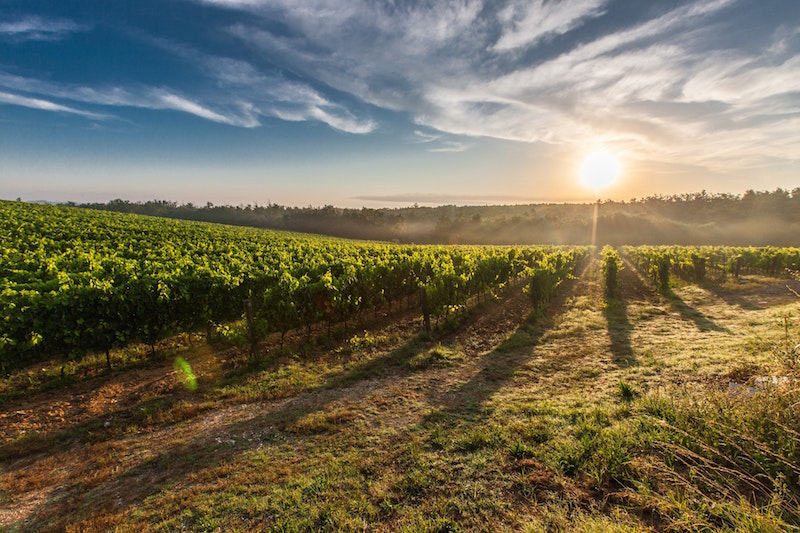 vineyard at sunset