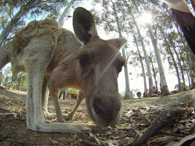 kangaroo-close-up